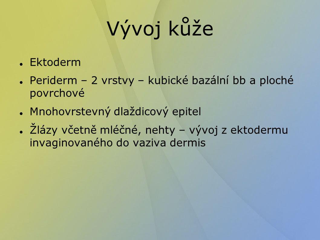 Ohybové rýhy (lineae distractiones) Dermální papily tvořené vazivem Epidermální lišty a rýhy – otisky prstůrýhy u kloubů, vrásky sulcus mentolabialis, nasolabialis sulcus gluteus