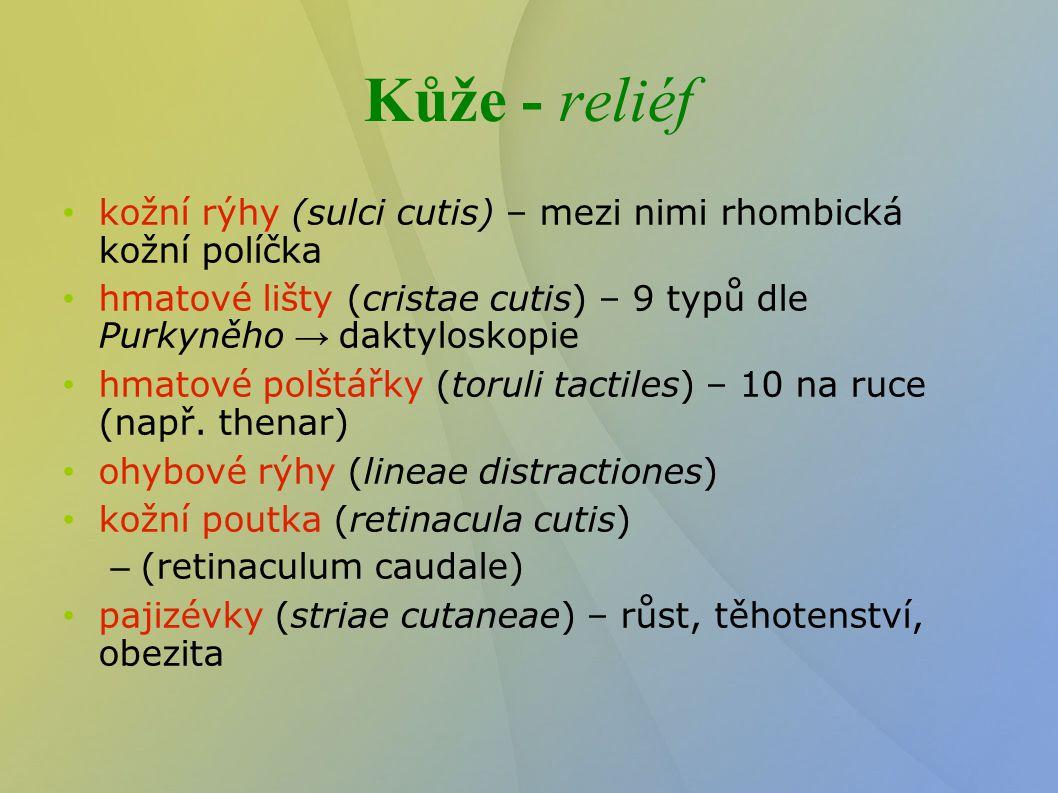 Kůže - reliéf kožní rýhy (sulci cutis) – mezi nimi rhombická kožní políčka hmatové lišty (cristae cutis) – 9 typů dle Purkyněho → daktyloskopie hmatov