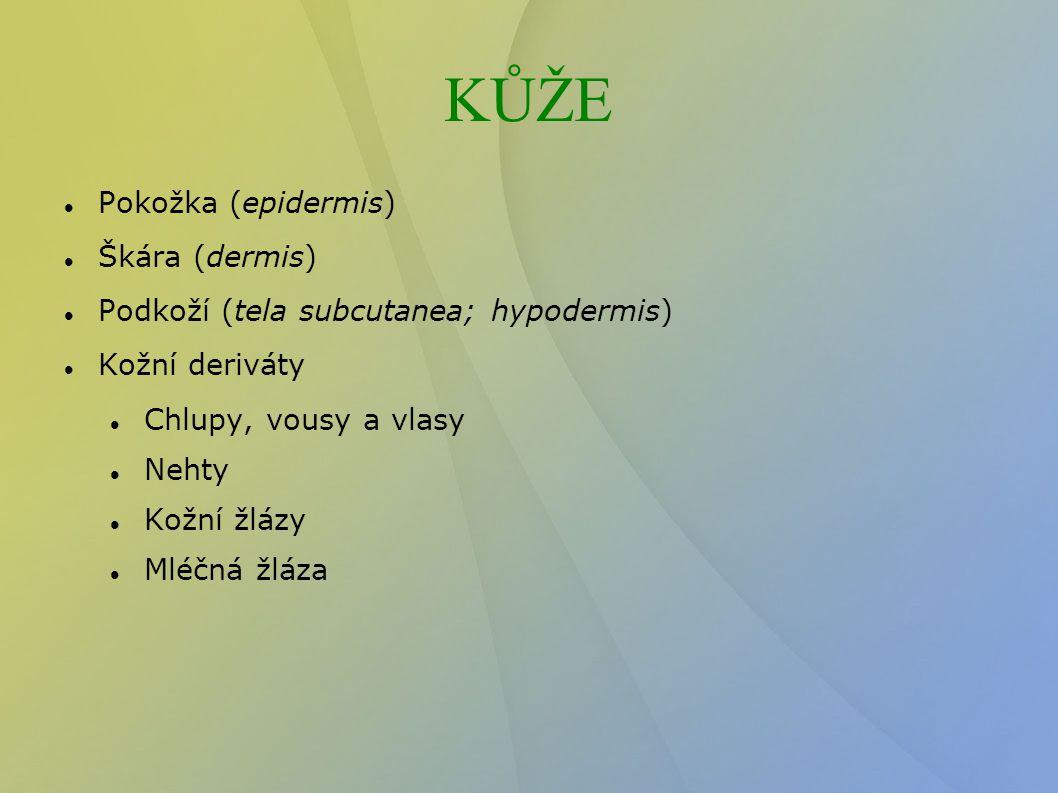 KŮŽE Pokožka (epidermis)  Škára (dermis)  Podkoží (tela subcutanea; hypodermis)  Kožní deriváty Chlupy, vousy a vlasy Nehty Kožní žlázy Mléčná žláz