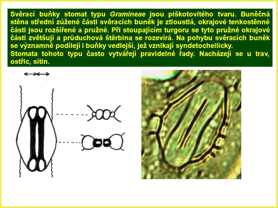 Svěrací buňky stomat typu Gramineae jsou piškotovitého tvaru. Buněčná stěna střední zúžené části svěracích buněk je ztloustlá, okrajové tenkostěnné čá