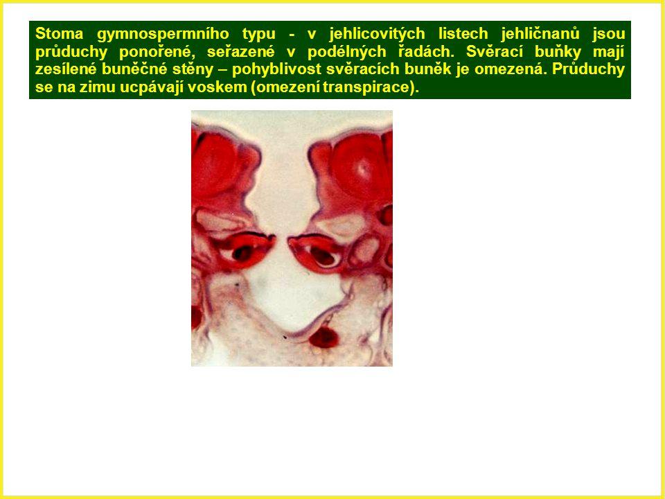 Stoma gymnospermního typu - v jehlicovitých listech jehličnanů jsou průduchy ponořené, seřazené v podélných řadách. Svěrací buňky mají zesílené buněčn
