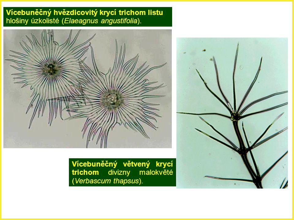 Vícebuněčný hvězdicovitý krycí trichom listu hlošiny úzkolisté (Elaeagnus angustifolia). Vícebuněčný větvený krycí trichom divizny malokvěté (Verbascu