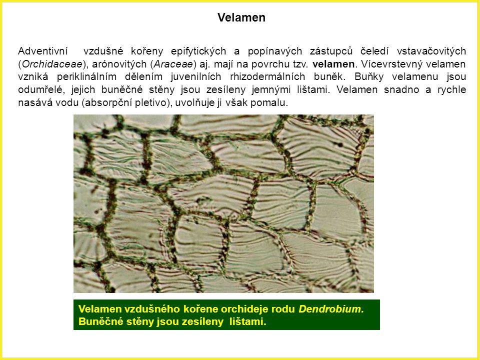 Velamen Adventivní vzdušné kořeny epifytických a popínavých zástupců čeledí vstavačovitých (Orchidaceae), arónovitých (Araceae) aj. mají na povrchu tz