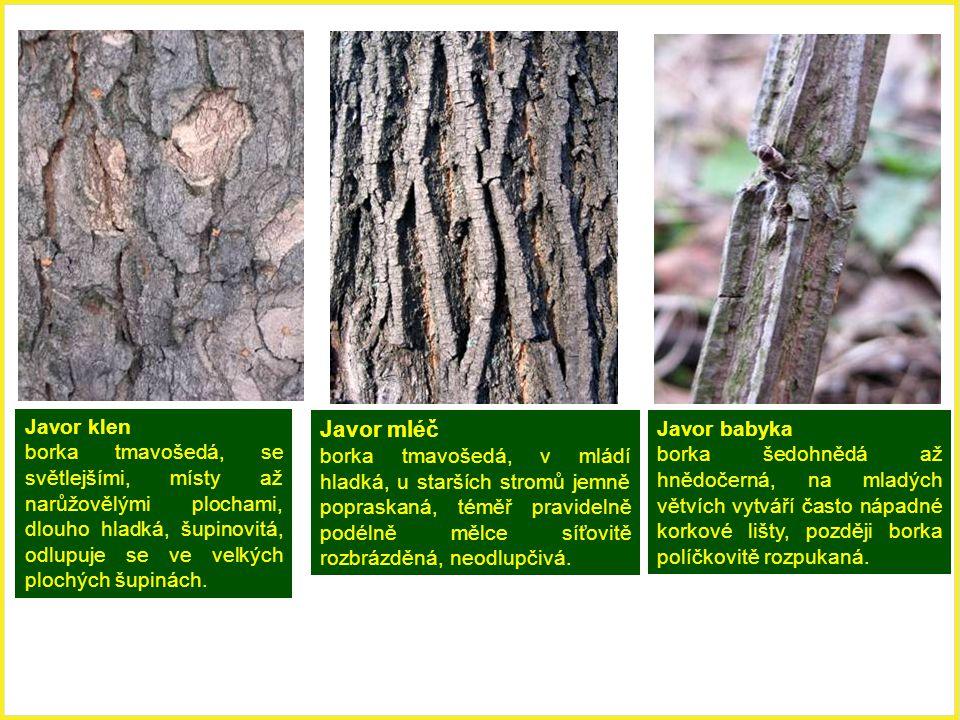 Javor babyka borka šedohnědá až hnědočerná, na mladých větvích vytváří často nápadné korkové lišty, později borka políčkovitě rozpukaná. Javor klen bo