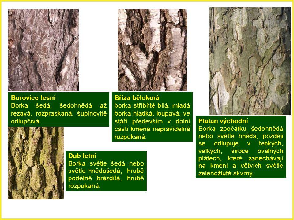 Borovice lesní Borka šedá, šedohnědá až rezavá, rozpraskaná, šupinovitě odlupčivá. Dub letní Borka světle šedá nebo světle hnědošedá, hrubě podélně br