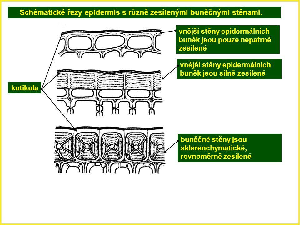 Schématické řezy epidermis s různě zesílenými buněčnými stěnami. vnější stěny epidermálních buněk jsou pouze nepatrně zesílené kutikula vnější stěny e