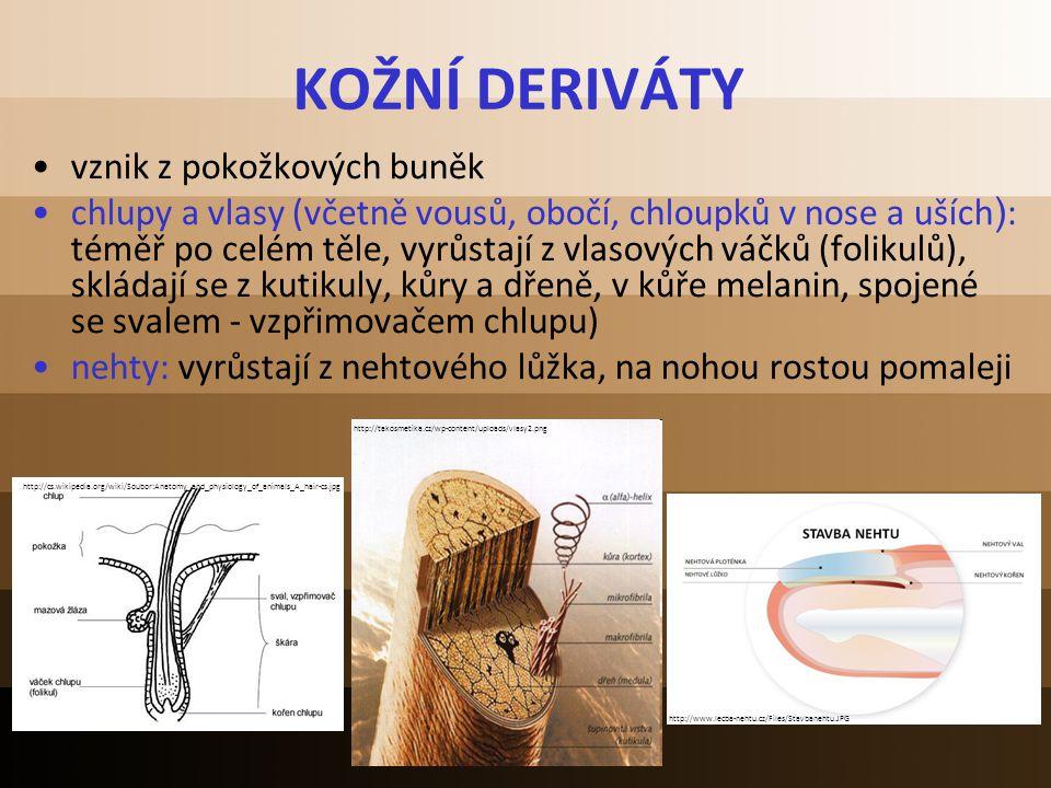 KOŽNÍ DERIVÁTY vznik z pokožkových buněk chlupy a vlasy (včetně vousů, obočí, chloupků v nose a uších ) : téměř po celém těle, vyrůstají z vlasových v