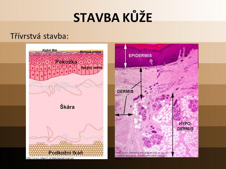 STAVBA KŮŽE Třívrstvá stavba: http://www.cetaphil.cz/data/stavba-kuze.jpg http://www.vetmed.vt.edu/education/curriculum/ vm8054/labs/lab14/IMAGES/HYPO