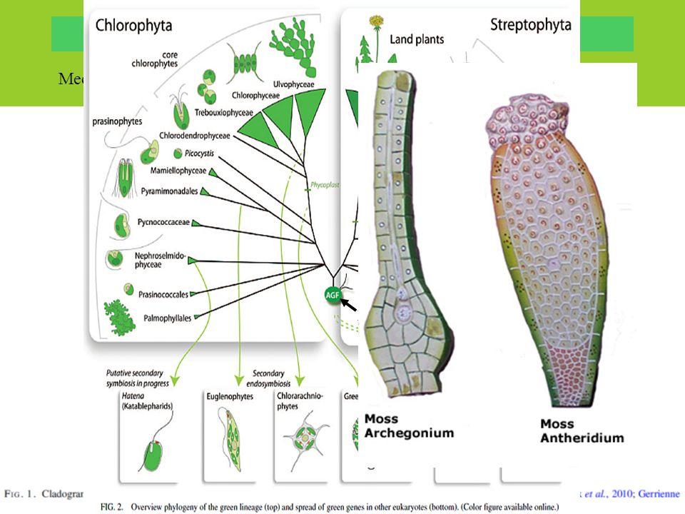 """Mechorosty součástí zelených rostlin (""""Viridiplantae"""" tj. zelené řasy + vyšší r.): společný předek chloroplastu – primární endosymbióza –stavba – 2 ob"""