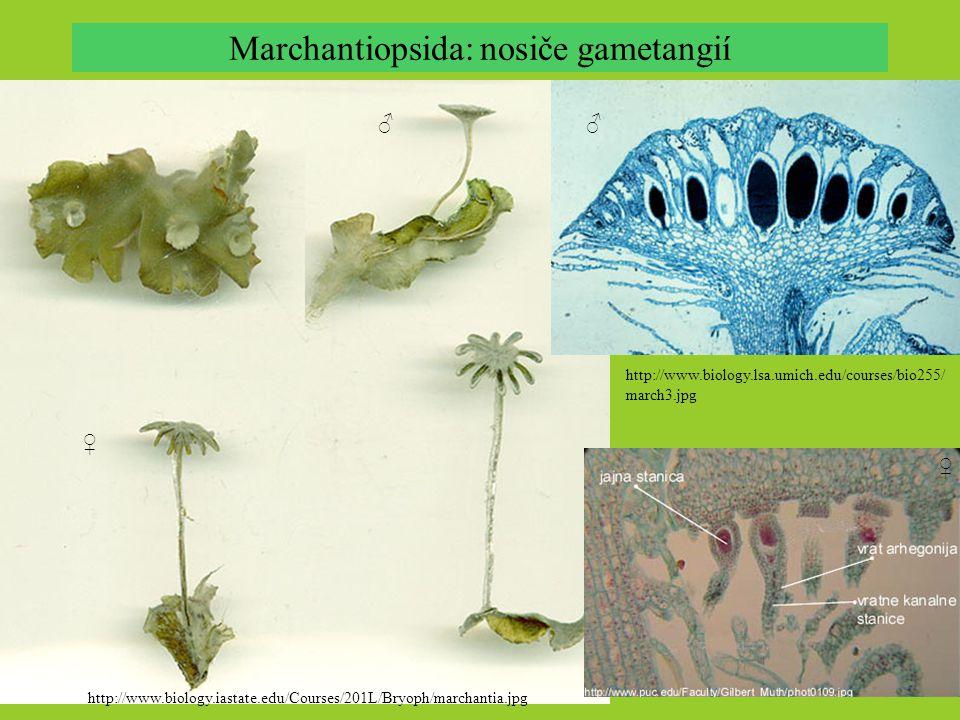 Marchantiopsida: nosiče gametangií http://www.biology.iastate.edu/Courses/201L/Bryoph/marchantia.jpg http://www.biology.lsa.umich.edu/courses/bio255/ march3.jpg ♂ ♀ ♂ ♀