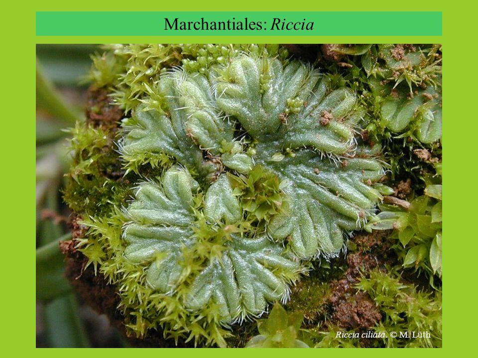 Marchantiales: Riccia Riccia bifurca, © M. Lüth Riccia ciliata. © M. Lüth