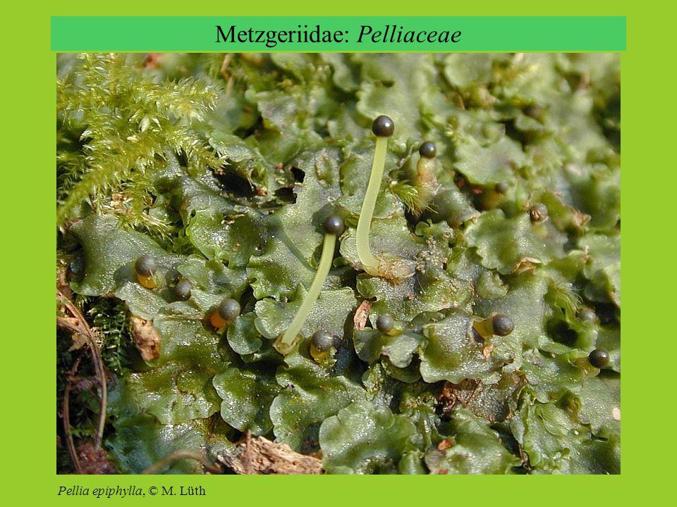 Metzgeriidae: Pelliaceae Pellia epiphylla, © M. Lüth