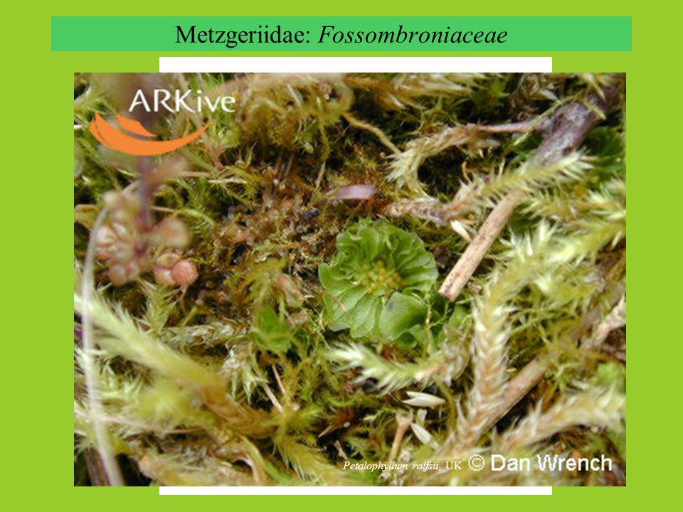 Metzgeriidae: Fossombroniaceae Fossombronia alaskana Petalophyllum ralfsii, UK