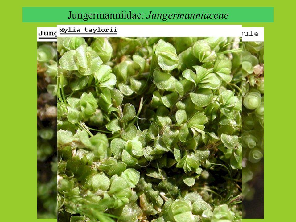Jungermanniidae: Jungermanniaceae