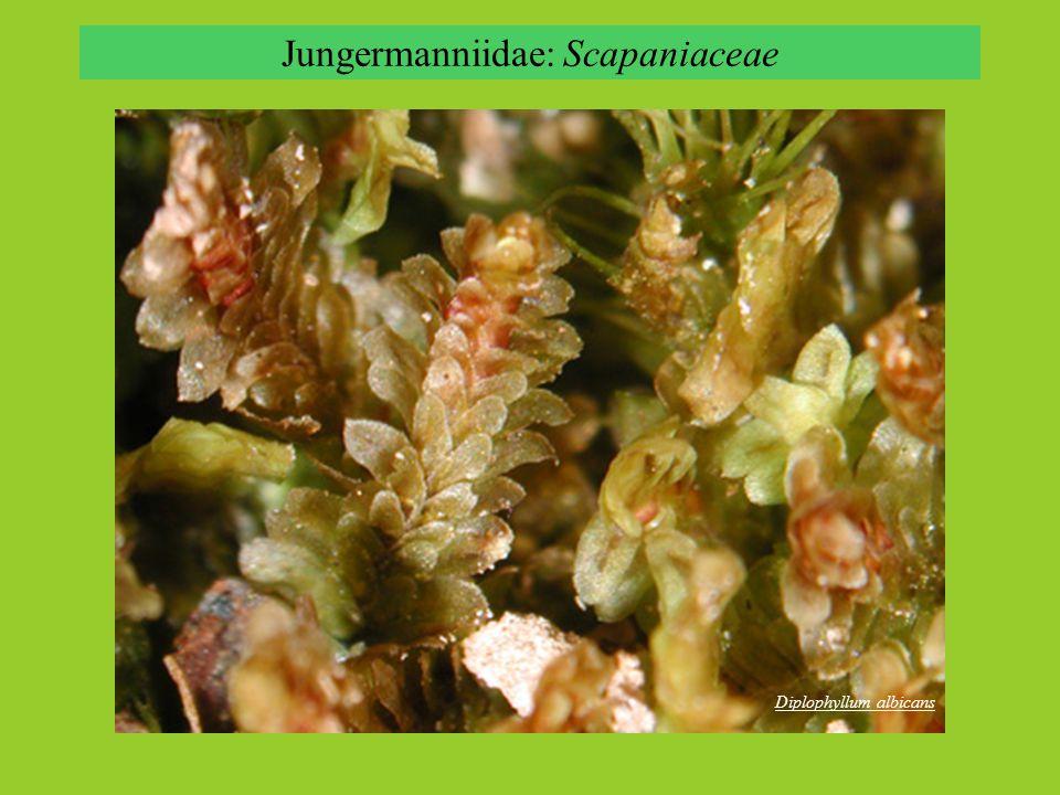 Diplophyllum albicans Jungermanniidae: Scapaniaceae