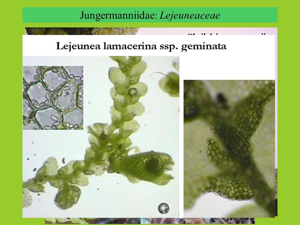 Jungermanniidae: Lejeuneaceae