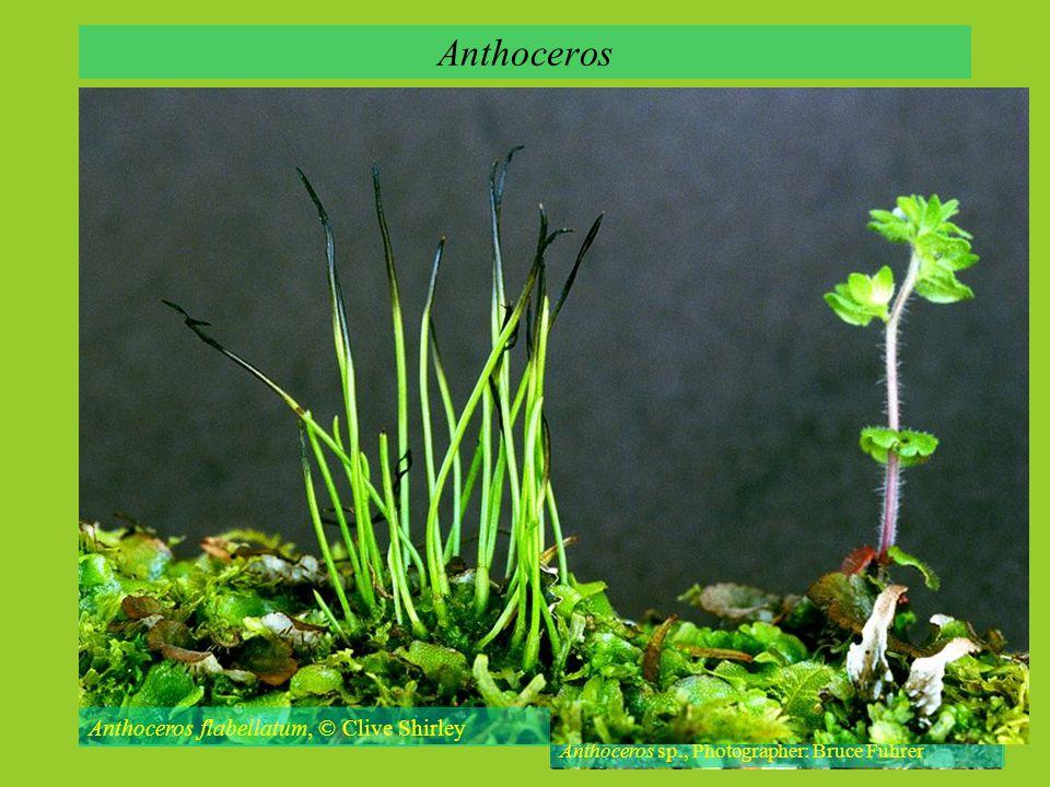 Anthoceros Anthoceros neesii, © M. Lüth Anthoceros sp., Photographer: Bruce Fuhrer Anthoceros flabellatum, © Clive Shirley
