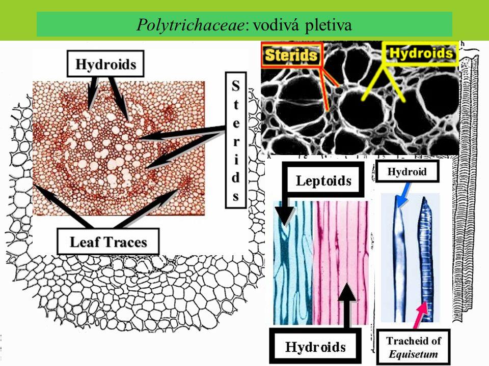 Polytrichaceae: vodivá pletiva