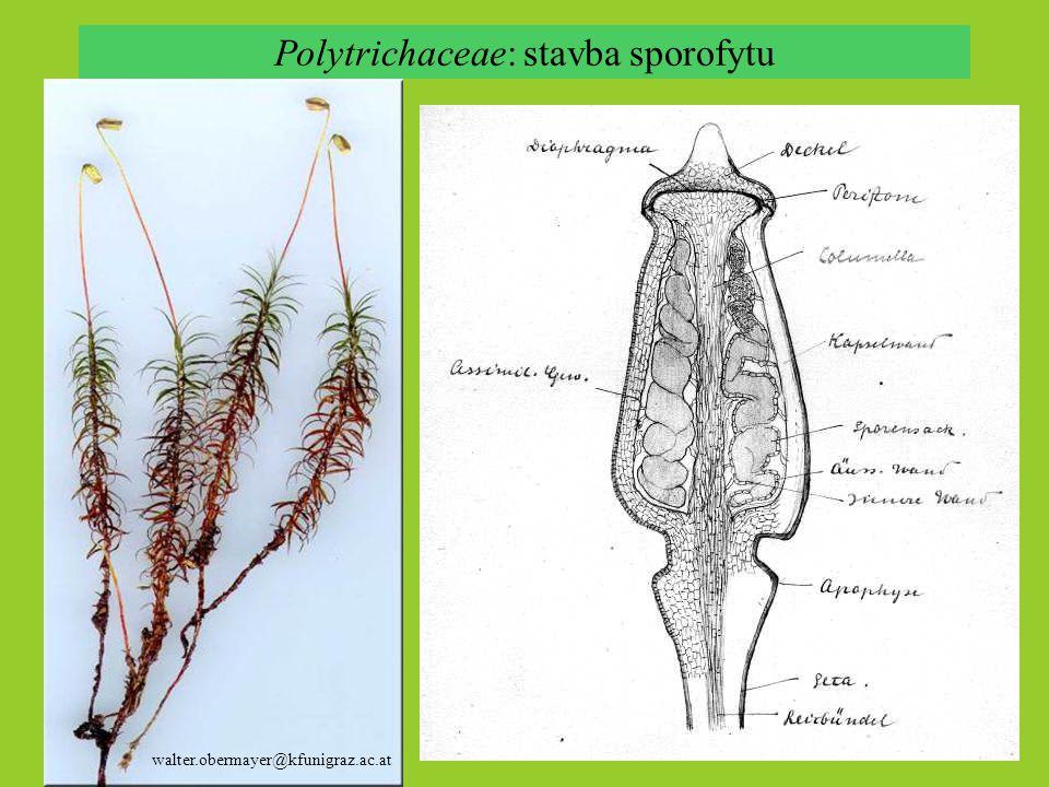 Polytrichaceae: stavba sporofytu walter.obermayer@kfunigraz.ac.at