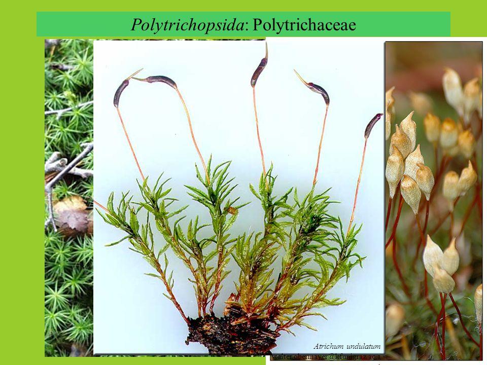 Polytrichopsida: Polytrichaceae Polytrichum commune Atrichum undulatum walter.obermayer@kfunigraz.ac.a t