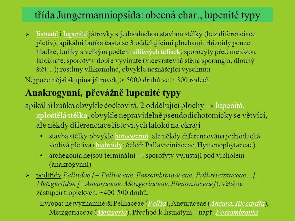 třída Jungermanniopsida: obecná char., lupenité typy  listnaté i lupenité játrovky s jednoduchou stavbou stélky (bez diferenciace pletiv); apikální b