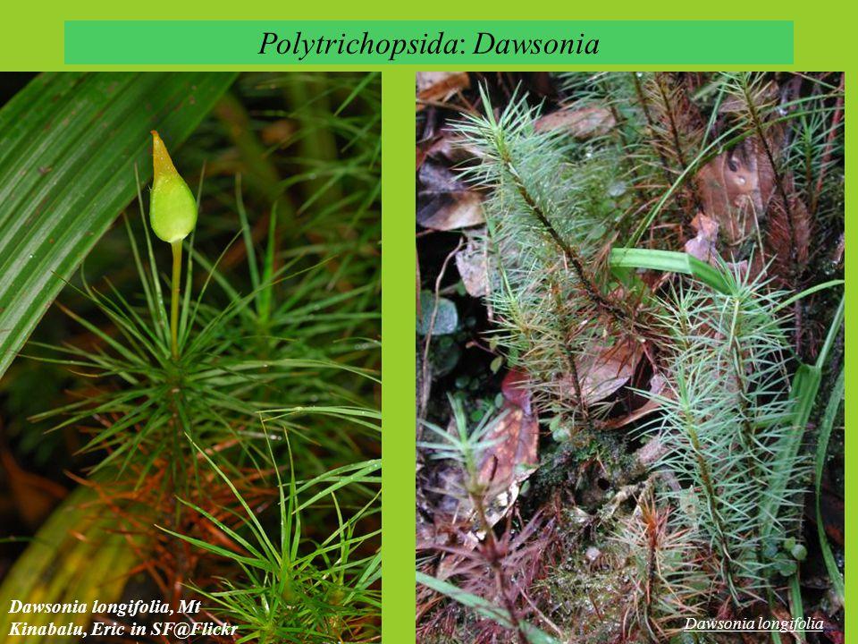 Polytrichopsida: Dawsonia Dawsonia longifolia, Mt Kinabalu, Eric in SF@Flickr Dawsonia longifolia