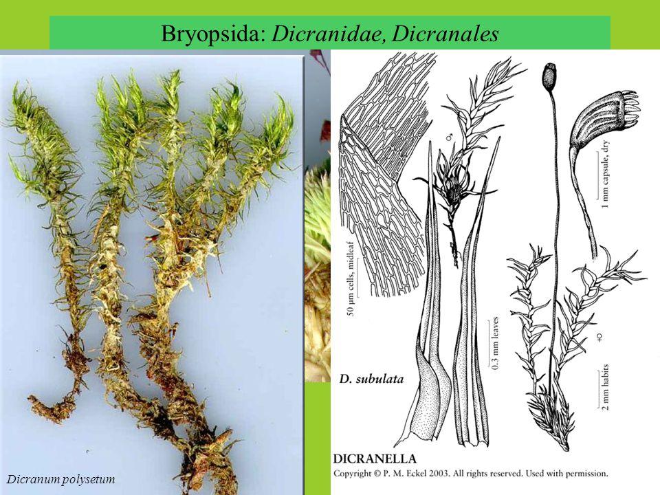 Bryopsida: Dicranidae, Dicranales Leucobryum glaucum Dicranum polysetum