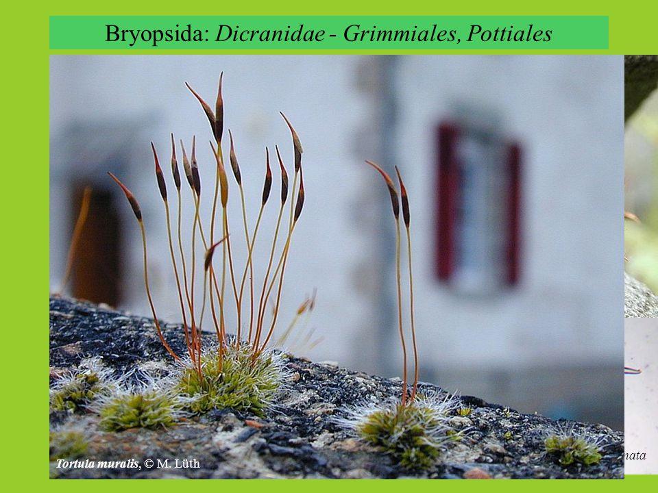 Bryopsida: Dicranidae - Grimmiales, Pottiales Grimmia pulvinata Tortula muralis, © M. Lüth