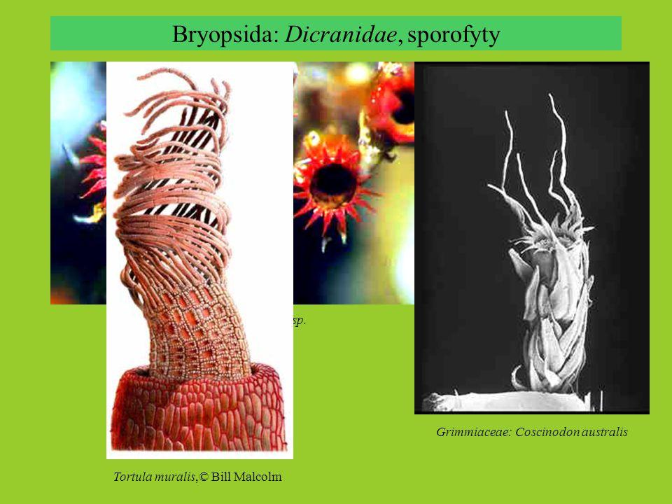 Bryopsida: Dicranidae, sporofyty Grimmiaceae: Coscinodon australis Grimmiaceae: Schistidium sp.
