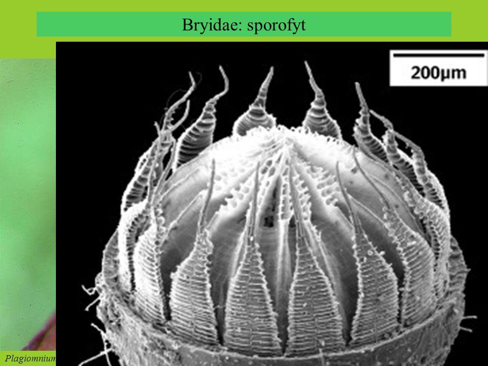 Bryidae: sporofyt Bryum sp., sporophyte © Z. Iwatsuki Plagiomnium acutum, sporophyte, © Z. Iwatsuki