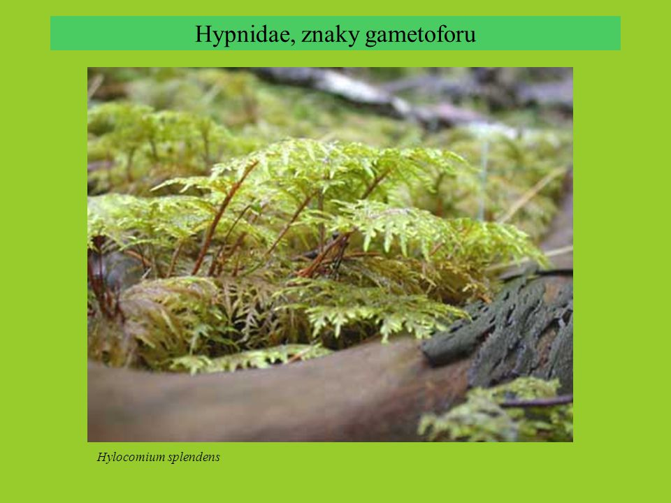 Hypnum plumaeforme, zpeřeně větvené lodyžky Hypnidae, znaky gametoforu Hylocomium splendens