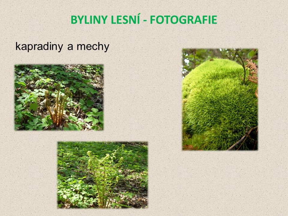 BYLINY LESNÍ - FOTOGRAFIE kapradiny a mechy