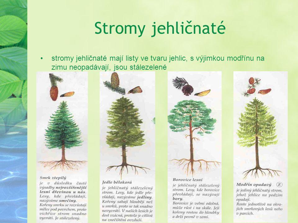 Stromy jehličnaté stromy jehličnaté mají listy ve tvaru jehlic, s výjimkou modřínu na zimu neopadávají, jsou stálezelené