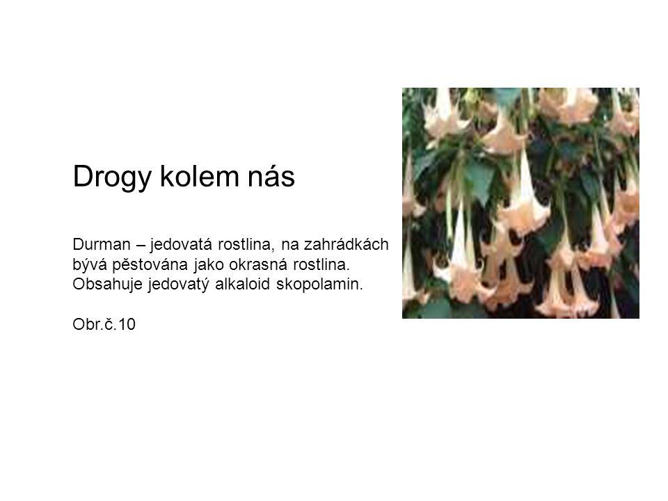 Drogy kolem nás Durman – jedovatá rostlina, na zahrádkách bývá pěstována jako okrasná rostlina. Obsahuje jedovatý alkaloid skopolamin. Obr.č.10