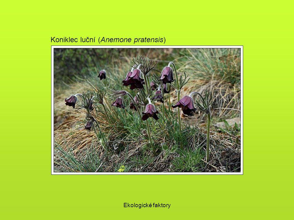 Ekologické faktory Koniklec luční (Anemone pratensis)