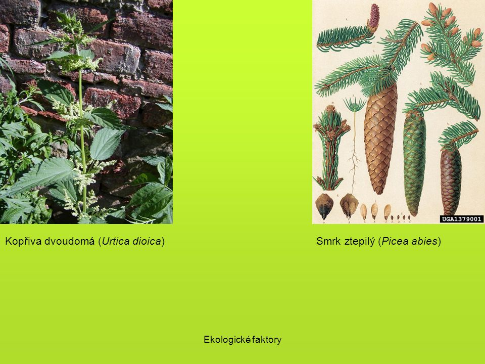Ekologické faktory Kopřiva dvoudomá (Urtica dioica)Smrk ztepilý (Picea abies)