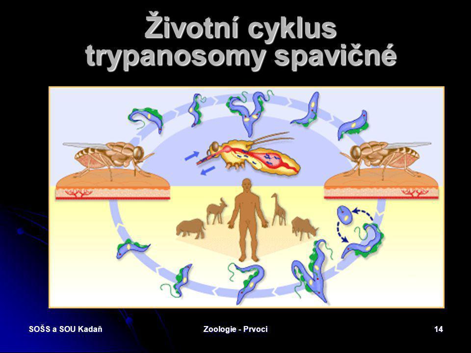SOŠS a SOU KadaňZoologie - Prvoci13 Přenašeč trypanosomy spavičné Moucha tse-tse na zvířecí kůžiMoucha tse-tse na lidské kůži