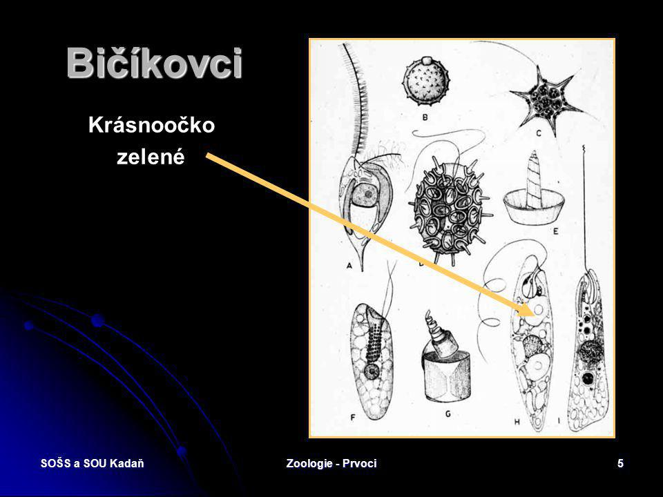 SOŠS a SOU KadaňZoologie - Prvoci4 Bezbrví – bičíkovci Flagellata Tělo opatřeno jedním nebo více bičíky nebo lemem (ondulující membránou). Přechod mez