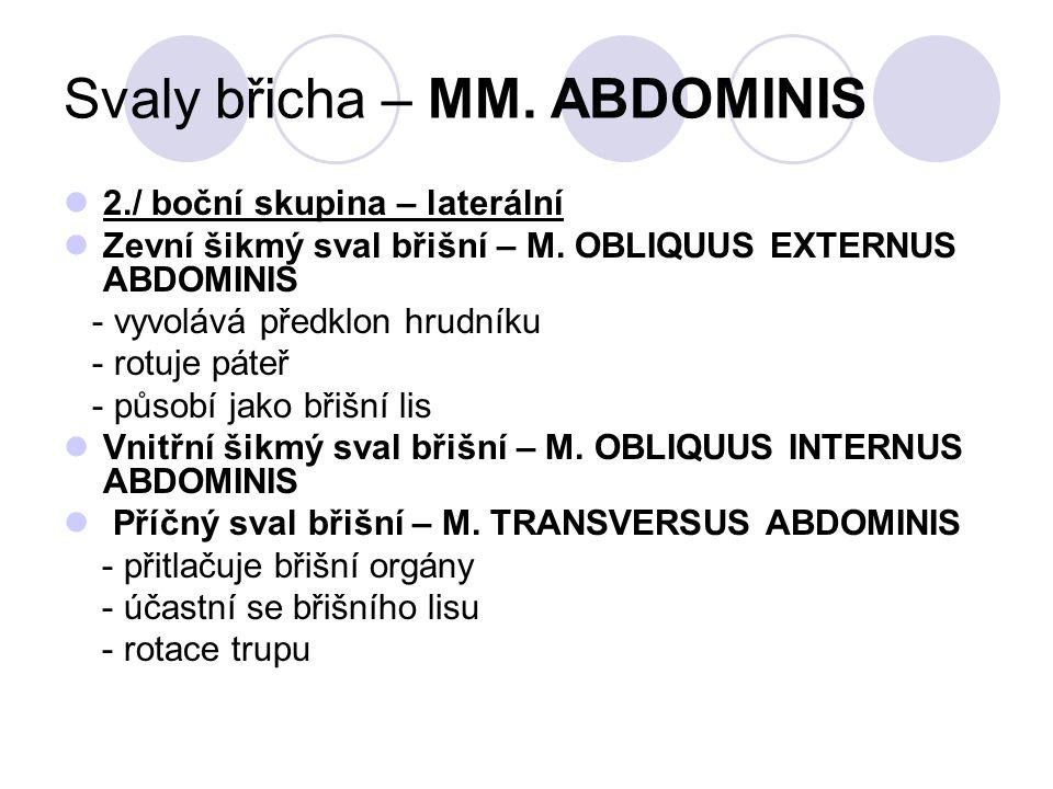 Svaly břicha – MM. ABDOMINIS 2./ boční skupina – laterální Zevní šikmý sval břišní – M. OBLIQUUS EXTERNUS ABDOMINIS - vyvolává předklon hrudníku - rot