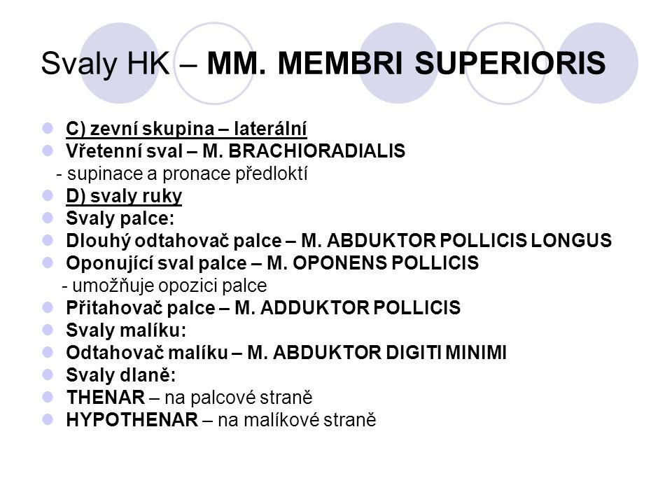 Svaly HK – MM. MEMBRI SUPERIORIS C) zevní skupina – laterální Vřetenní sval – M. BRACHIORADIALIS - supinace a pronace předloktí D) svaly ruky Svaly pa