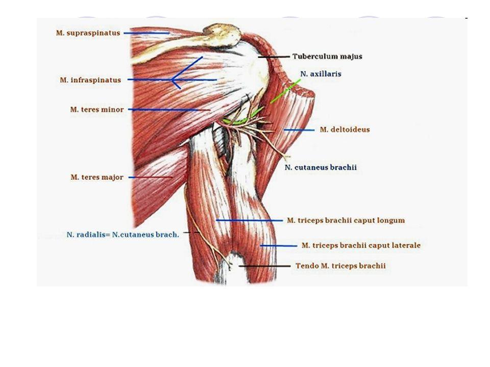 Svaly hrudníku – MM.THORACIS 2./ svaly thorakohumerální Připojují HK k trupu Pomocné svaly vdechové Velký sval prsní – M.