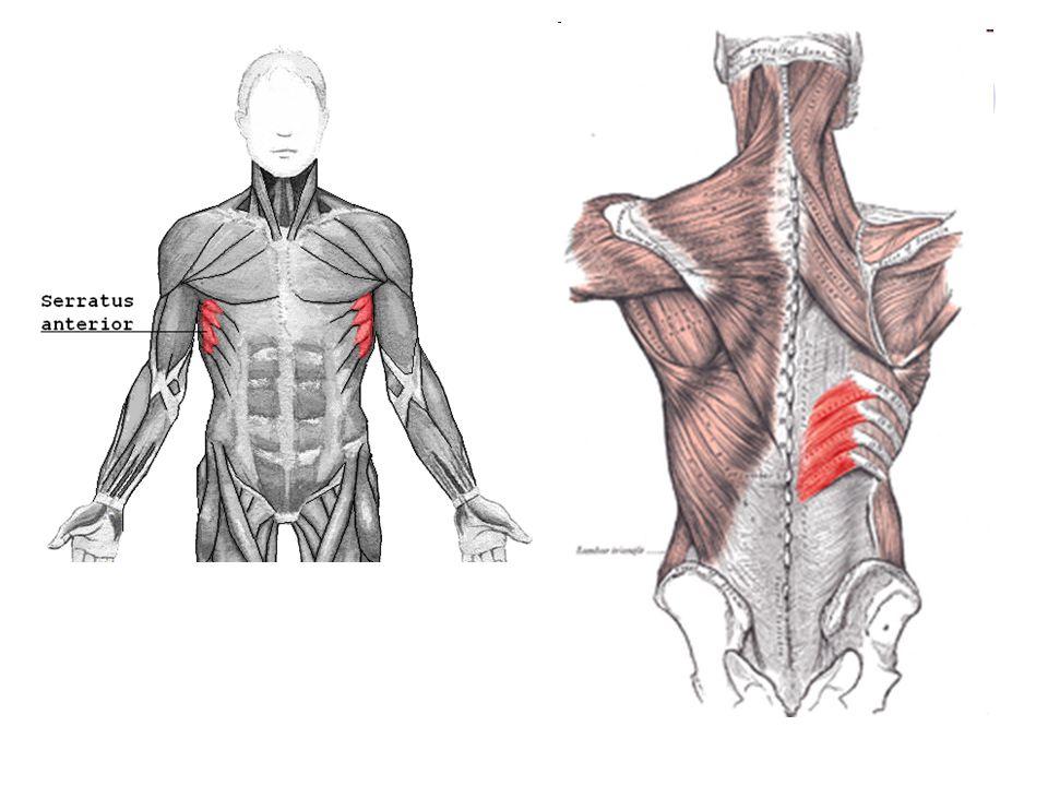 Svaly hrudníku – MM.THORACIS 3./ vlastní svaly hrudníku Mezižeberní zevní svaly – MM.