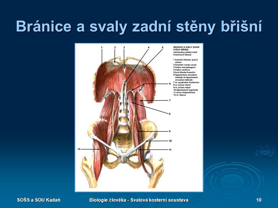 SOŠS a SOU KadaňBiologie člověka - Svalová kosterní soustava10 Bránice a svaly zadní stěny břišní
