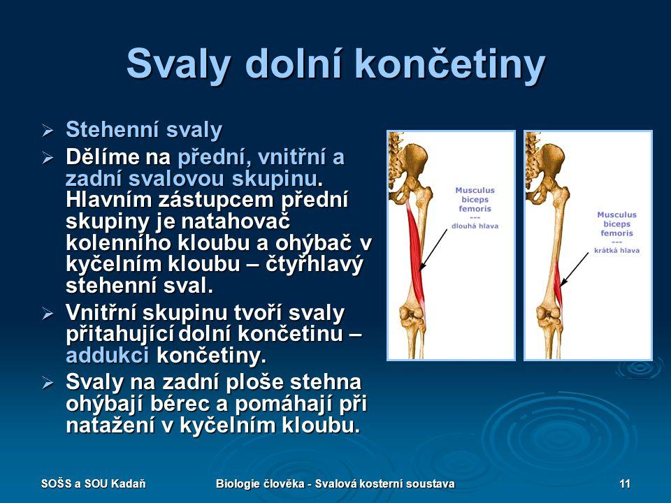 SOŠS a SOU KadaňBiologie člověka - Svalová kosterní soustava11 Svaly dolní končetiny  Stehenní svaly  Dělíme na přední, vnitřní a zadní svalovou sku
