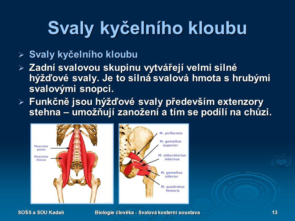SOŠS a SOU KadaňBiologie člověka - Svalová kosterní soustava13 Svaly kyčelního kloubu  Svaly kyčelního kloubu  Zadní svalovou skupinu vytvářejí velm