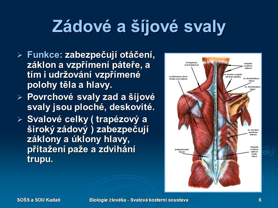 SOŠS a SOU KadaňBiologie člověka - Svalová kosterní soustava6 Zádové a šíjové svaly  Funkce: zabezpečují otáčení, záklon a vzpřímení páteře, a tím i