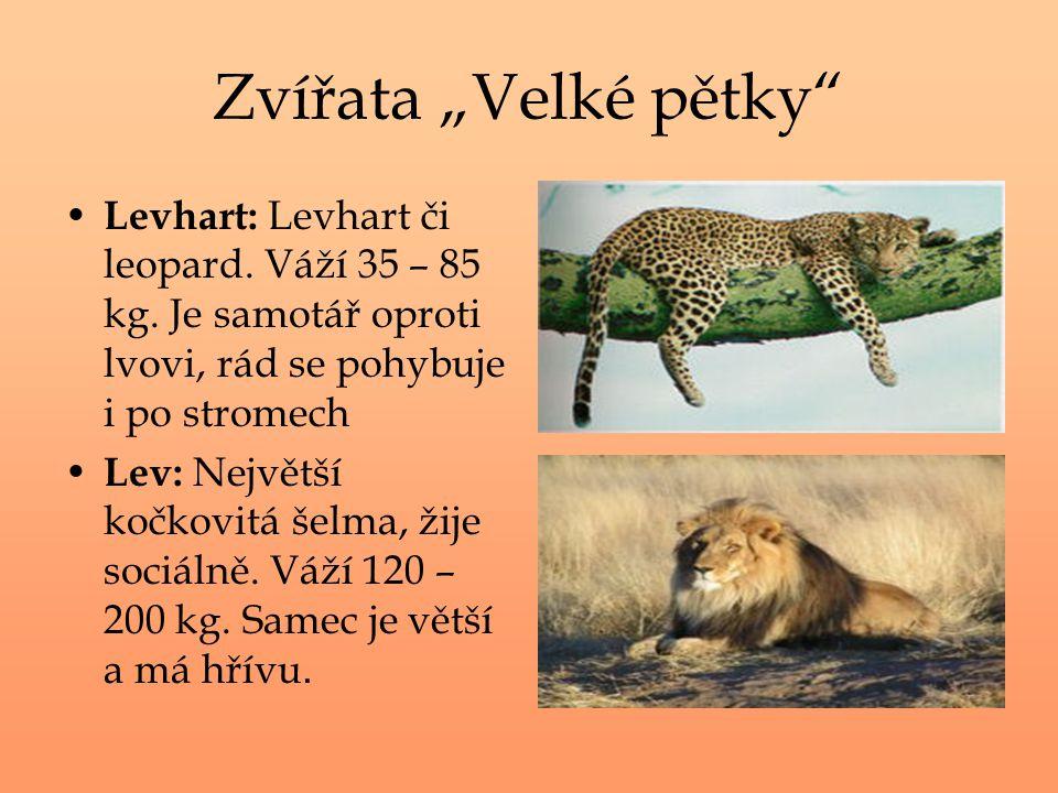 """Zvířata """"Velké pětky"""" Levhart: Levhart či leopard. Váží 35 – 85 kg. Je samotář oproti lvovi, rád se pohybuje i po stromech Lev: Největší kočkovitá šel"""