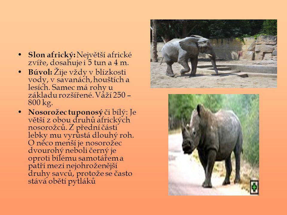 Slon africký: Největší africké zvíře, dosahuje i 5 tun a 4 m. Búvol: Žije vždy v blízkosti vody, v savanách, houštích a lesích. Samec má rohy u základ