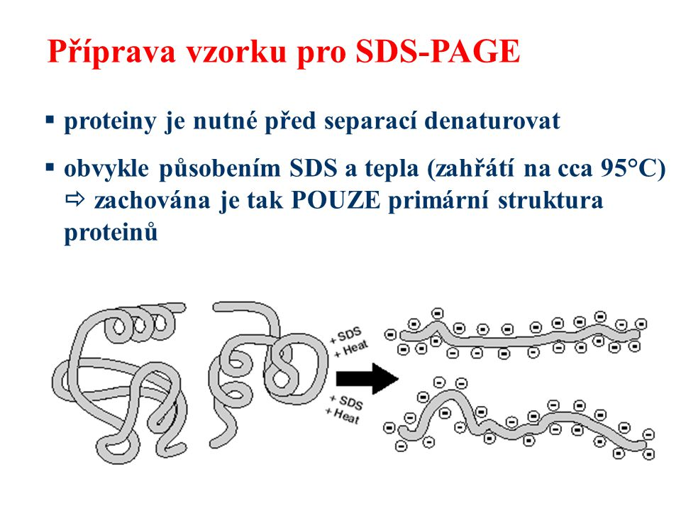  denaturované proteiny mají vláknitý tvar a stejný záporný náboj na jednotku délky proteinu daný vazbou SDS  rychlost migrace v gelu tedy závisí pouze na jejich molekulové hmotnosti Příprava vzorku pro SDS-PAGE