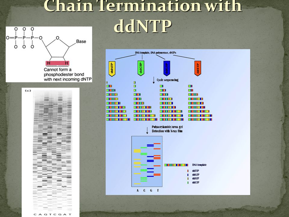 Chain Termination with ddNTP